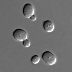 Leveduras da espécie Saccharomyces cerevisiae